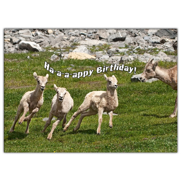 Canadian mountain sheep and lambs running and playing in the Rocky Mountains. Three of them have their mouths open like they are singing Ha-a-a-appy Birthday!