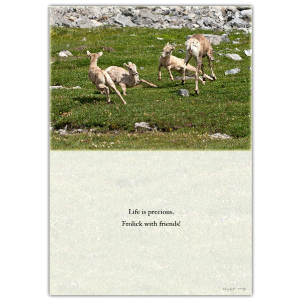 Canadian mountain sheep frisking about