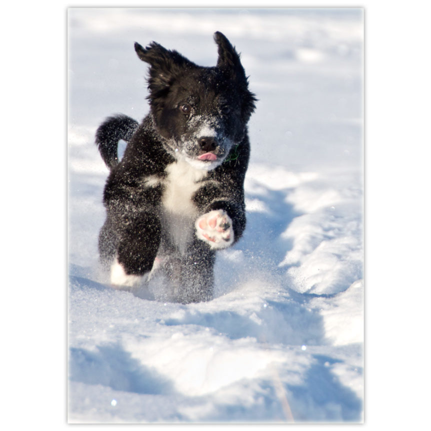 Black and white border collie running for all he's worth toward you through the snow with his little pink tongue sticking out