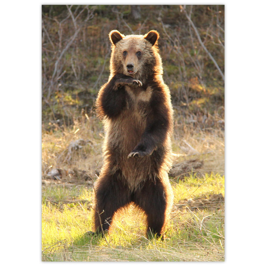Grizzly Bear Cub standing up and doing some kind of dance move while backlit by the sun