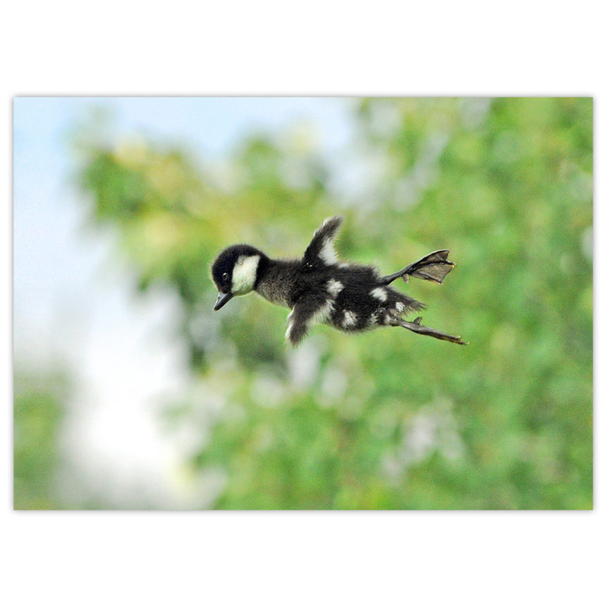 Bufflehead ducking taking his first leap out of the nest. His feet appear to be bigger than his wings, but he has taken a leap of faith!