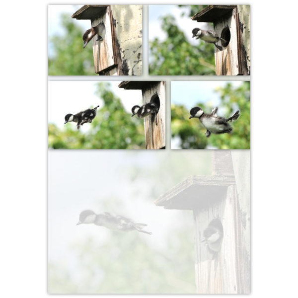 Bufflehead fledglings jump out of the nest after their mother gives a flying demonstration