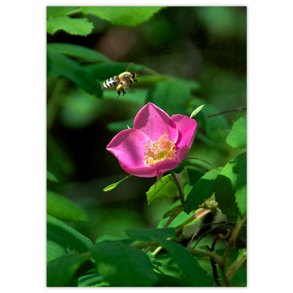a honey bee prepares to touch down on a beautiful, hot pink wild Alberta rose in full sunshine