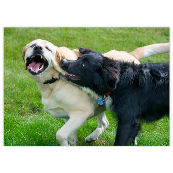 A black and white Border Collie/Bernese Mountain dog cross grabs playfully at the ear of his big Golden Retriever friend