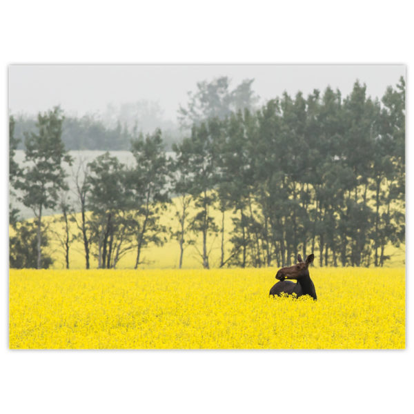 a happy moose standing shoulder-deep in a lush northern Alberta canola field with a flower in her teeth