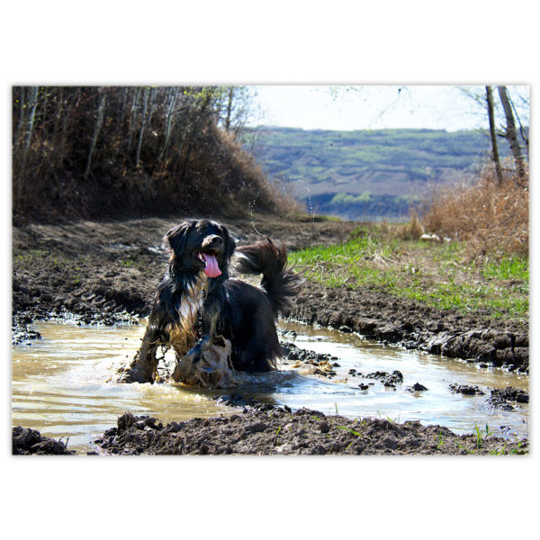 A black and white Border Collie/Bernese Mountain Dog cross named Mylo is cooling off in a big muddy puddle of water after an energetic hike in the hills on a hot day. He is wagging his tail and sending a trail of water drops into air