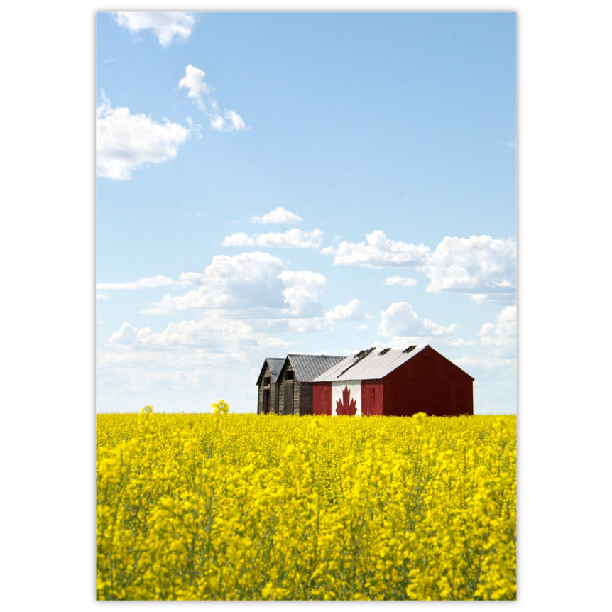 Granary in northern Alberta with the Canadian Flag painted across one entire side, set in a bright yellow field of canola with blue sky and fluffy white clouds