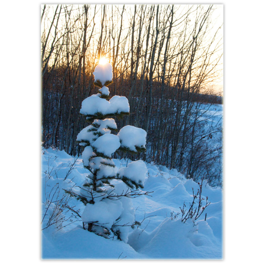 Little everygreen tree covered in snow with the sun peaking over the top like the real star that it is