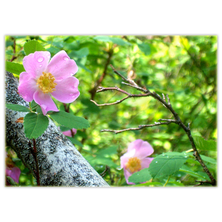Two wild Alberta roses with raindrops on their petals, blooming next to a fallen aspen tree