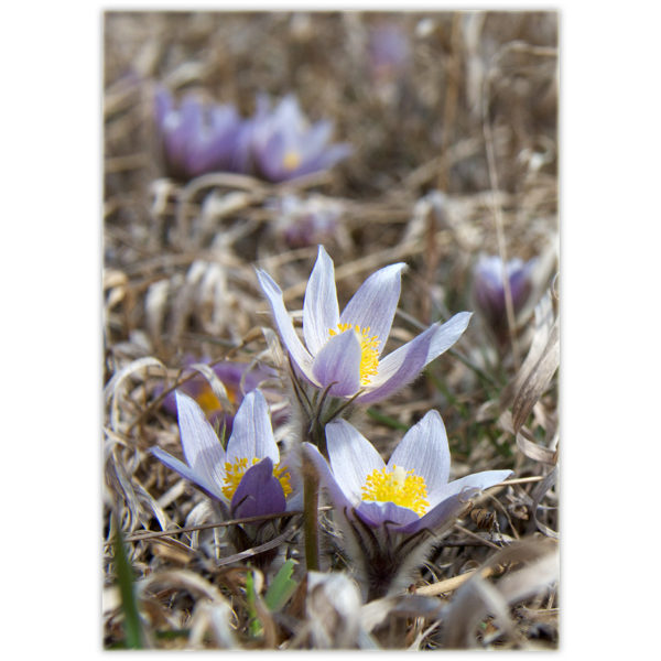 prairie crocuses in spring coming up through the dead curly grass