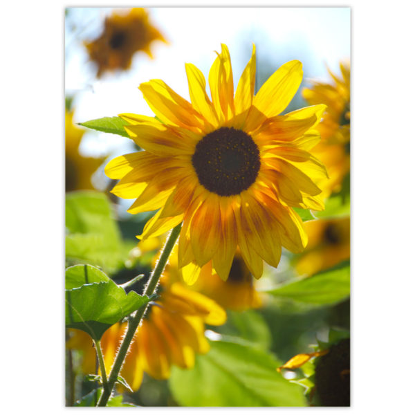 Bright yellow sunflower back lit by the sun with its beautiful neighbours looking on