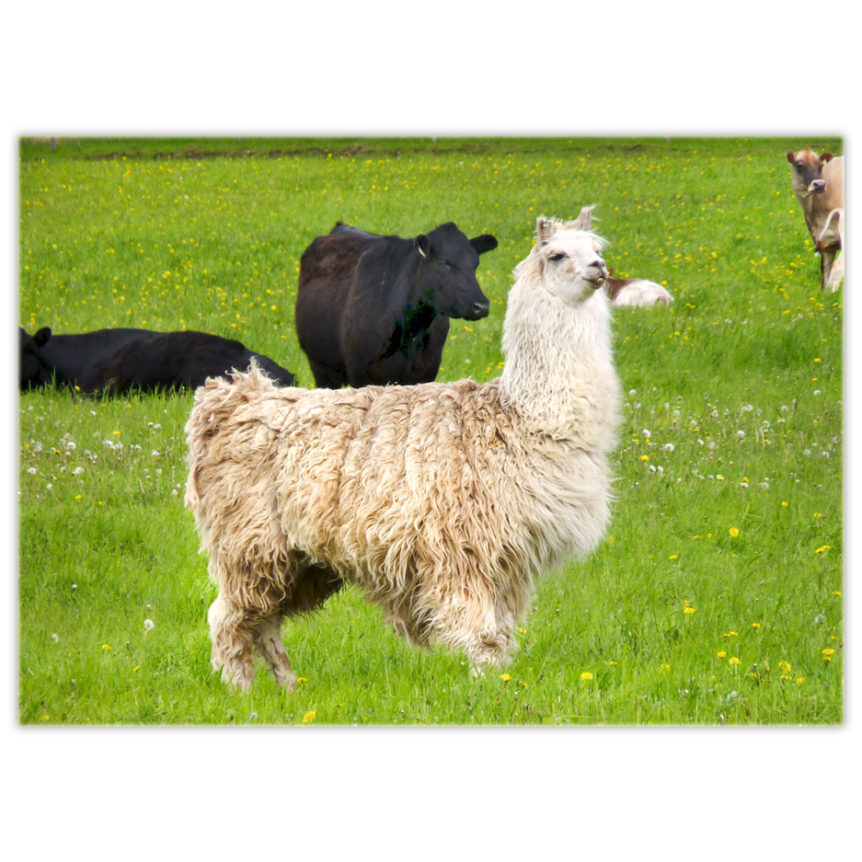a somewhat white llama valiantly stands guard over the cattle