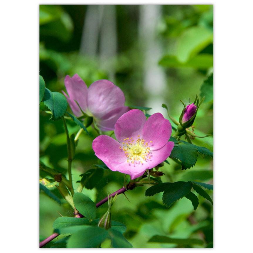 alberta wild roses