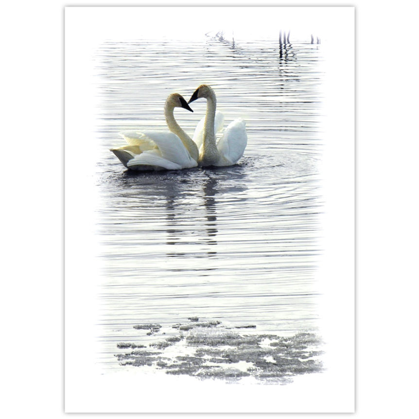 Two trumpeter swans come together on a pond in spring to form a heart with their beaks and necks. There is still some ice on the pond. Their image is reflected in the water.