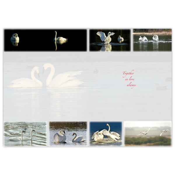 multiple images of two trumpeter swans in a mating ritual in northern Alberta