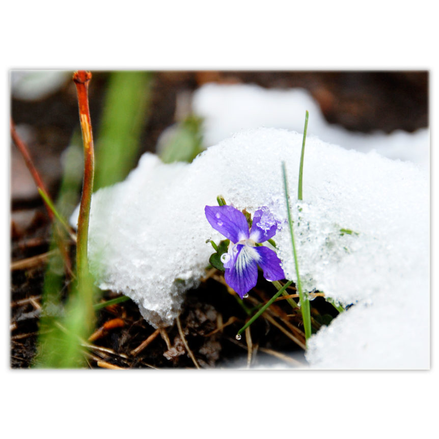 a tiny wild violet peeks out from under a fresh dump of snow on a May long weekend in northern Alberta