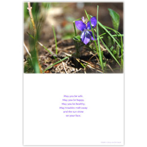 the tiny wild violet survived the snow and is basking in the sunshine with only one drop of melted snow on one of its petals