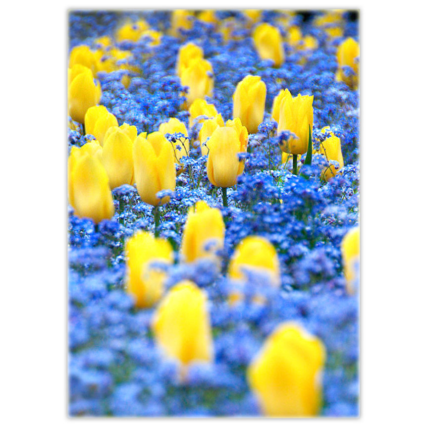 yellow tulips in a bed of blue forget-me-nots
