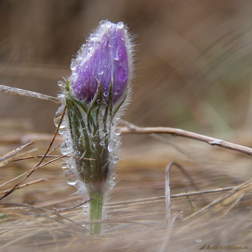 wild spring crocus dripping with meltin snow