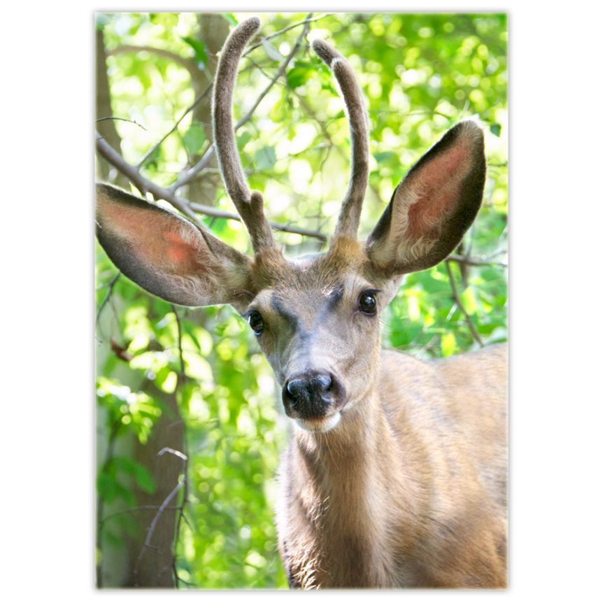 young red deer - a buck with antlers starting