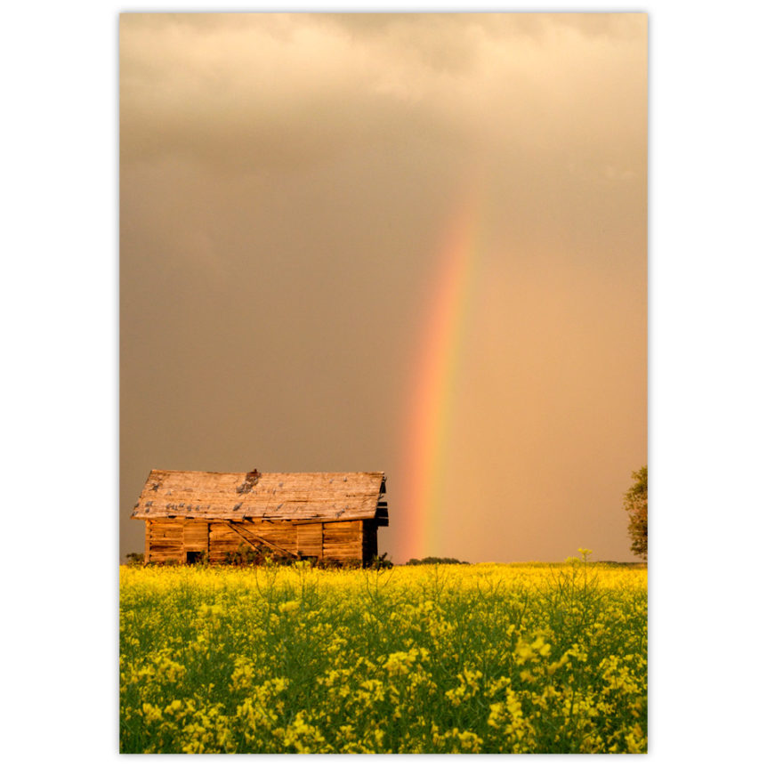 rainbow touching down in a field of canola