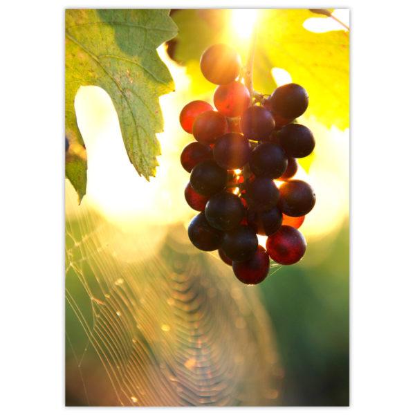 Grapes in Summerhill Pyramid bio-dynamic vineyard, Kelowna, B.C.