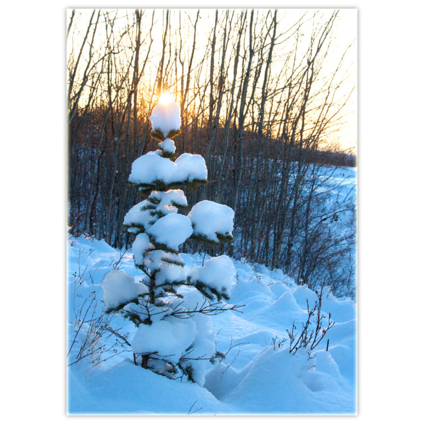 Snow-covered little ever green with the sun peering over the top