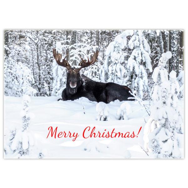 bull moose lying in the snow