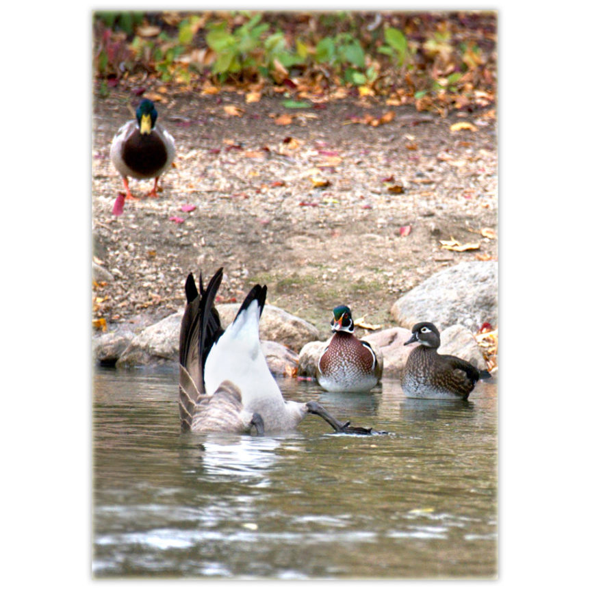 Canada Goose upside down in the water while the upright wood ducks and mallard look on