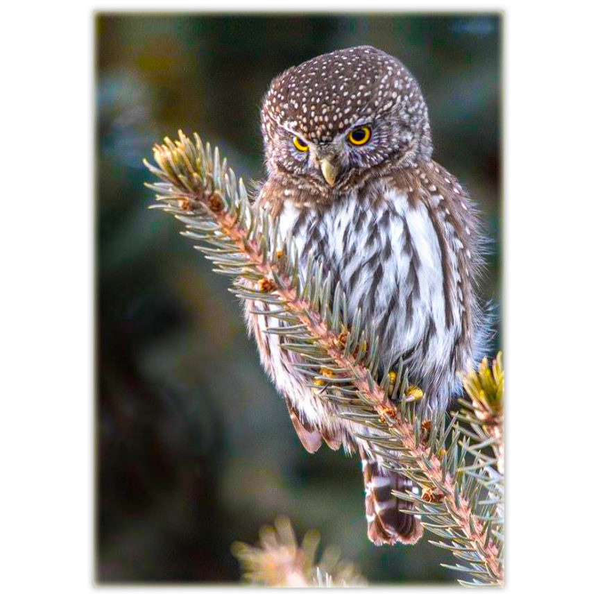 little owl perched on a conifer branch
