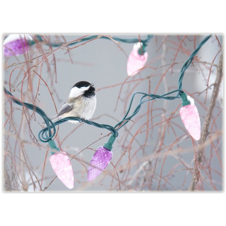 a chickadee sings while perched on a string of Christmas lights