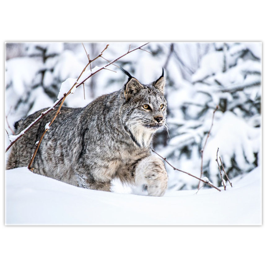 Canada Lynx walking on deep snow