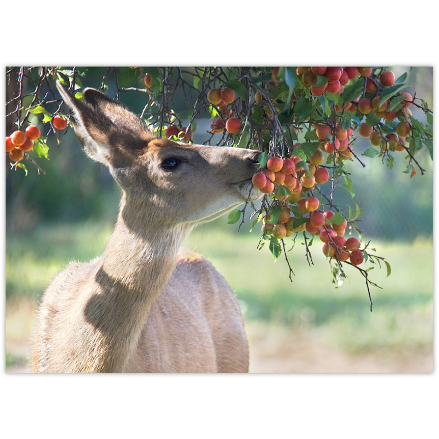 a deer eating crabapples