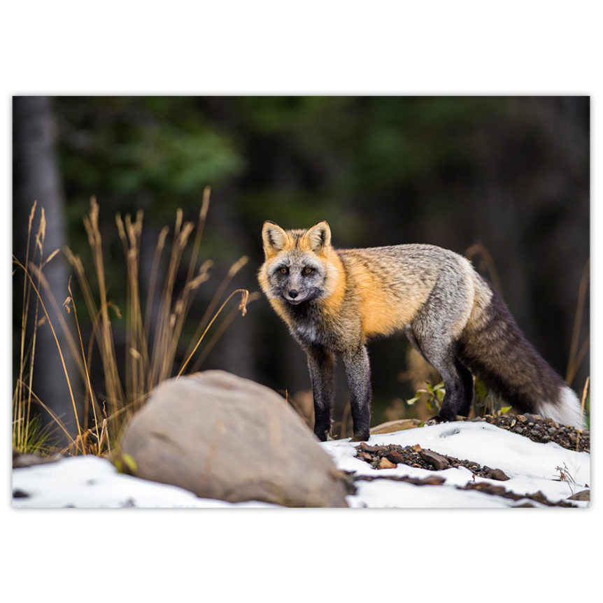 Cross fox in the boreal forest