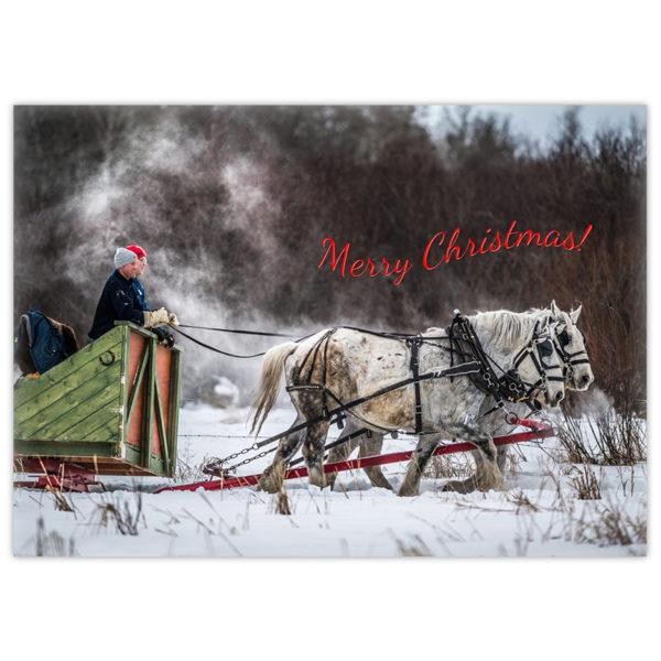 Two white Percheron horses pull a green wooden sleigh