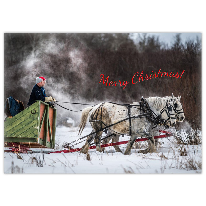 Two white Percheron horses pull a green wooden sleigh