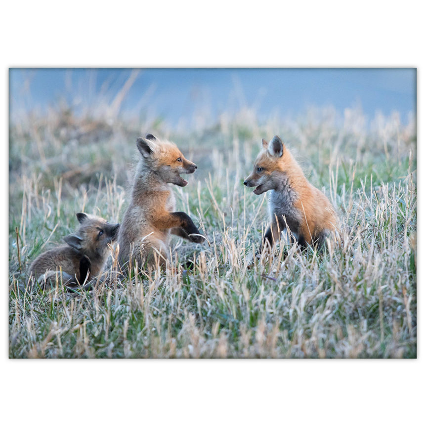 Three baby foxes playing in the grass