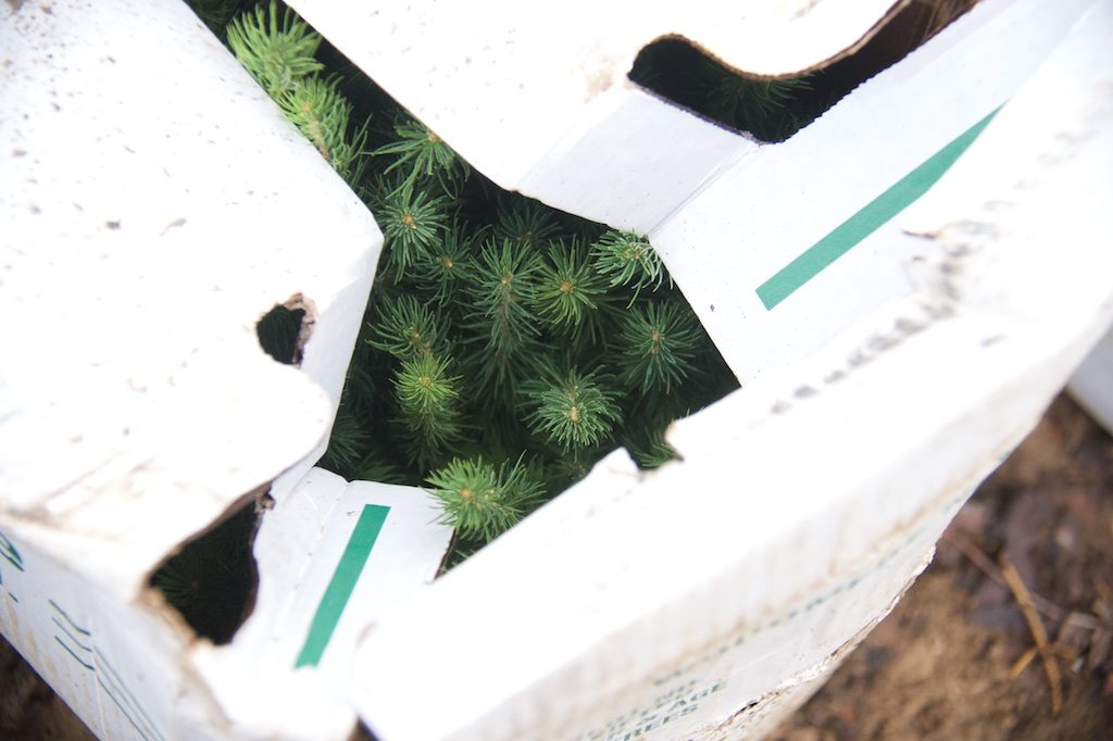 pine saplings in a box