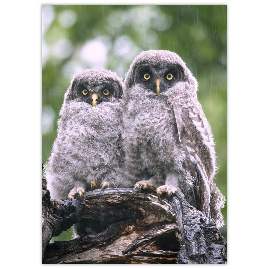 Two baby great grey owls being snowed upon