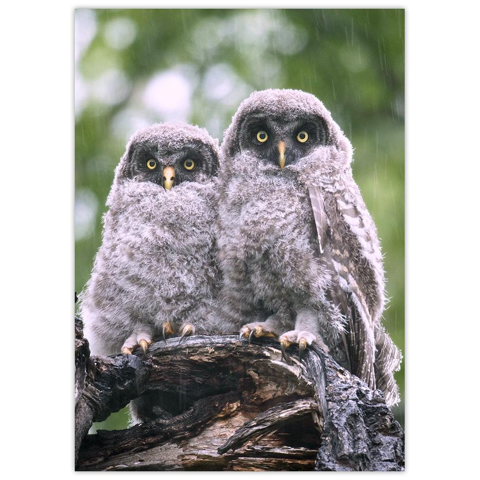 Great Grew Owls - DōnaBōna Cards