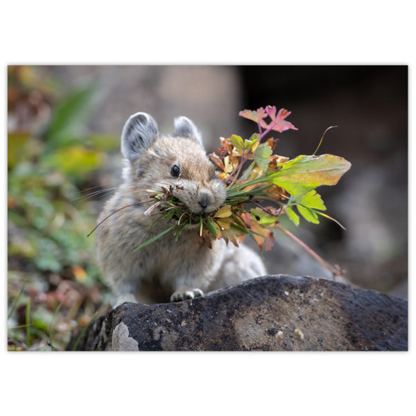 Pika (little rock rabbit) with his mouth full of harvested plants