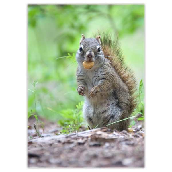 a squirrel standing with a cashew in its mouth