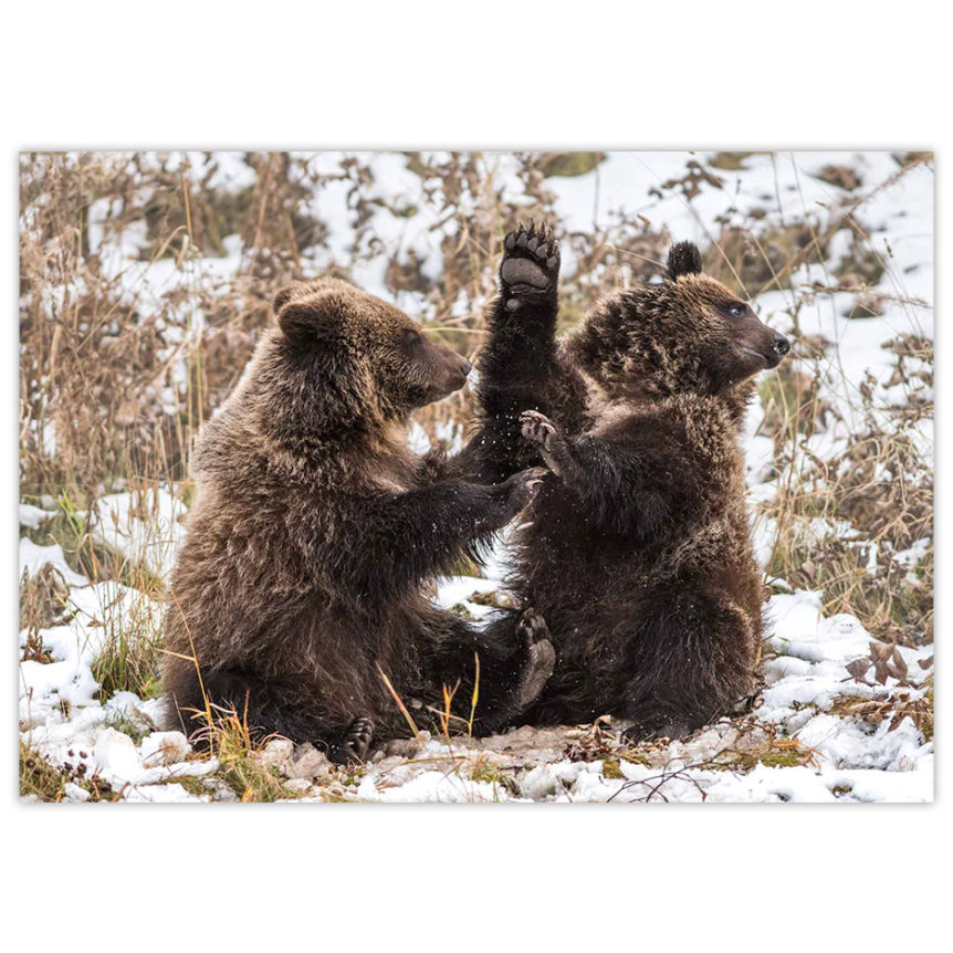 two grizzly bear cubs wrestling