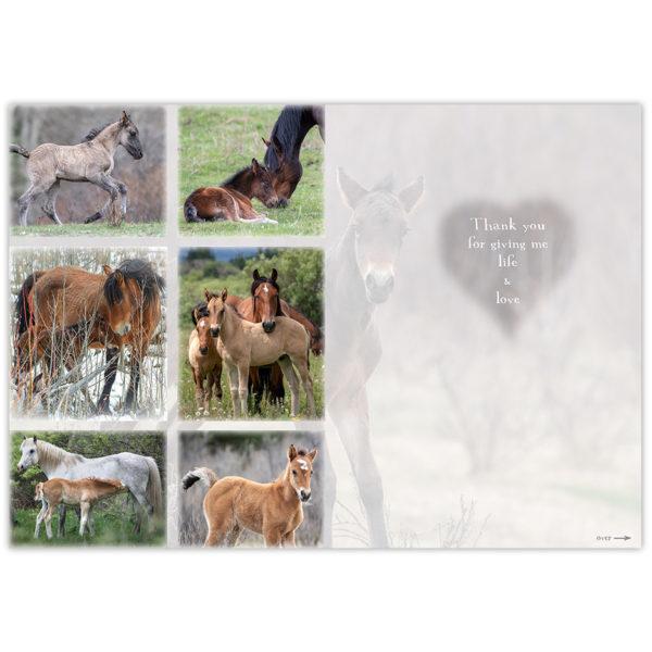 Wild horses of Alberta - mares and foals